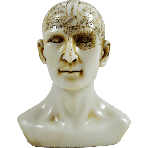 Painted Ivory Finish Resin Phrenology Head